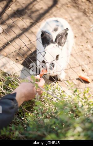 Un jeune homme part alimente un lapin blanc avec des carottes par une clôture dans un zoo Banque D'Images