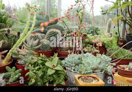 Une collection de cactées et plantes succulentes qui poussent sur un climat chaud et ensoleillé de fenêtre dans une serre domestique dans un jardin anglais, UK