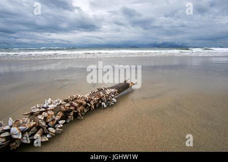 Bâton de bambou avec des moules sur elle se prélasse sur la plage. Soirée orageuse à la plage avec des nuages et Banque D'Images