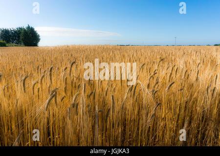 Une culture de blé dans un champ, contre un ciel bleu, tôt un matin d'été, Langtoft, Lincolnshire, Angleterre, Royaume Banque D'Images