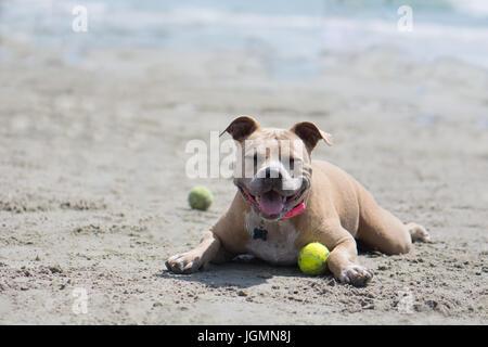 Pit Bull Dog se reposant dans le sable sur la plage avec une balle près de l'océan. San Diego, CA Dog Beach. Banque D'Images