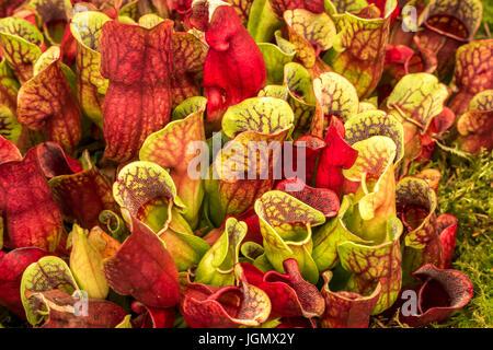 Gros plan de plants de pichet tropicaux de Sarracenia purpurea carnivores ou de chaussettes de tortue ou de plante de pichet du nord, de Nepenthes ou de tasse de singe