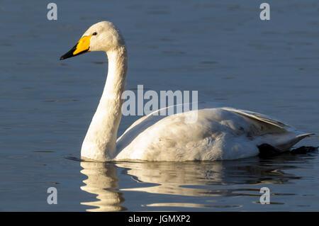 Un adulte cygne chanteur (Cygnus cygnus) natation sur le lac principal au Wildfowl and Wetlands Trust's Martin simple Banque D'Images
