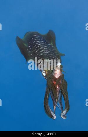 Bigfin reef (Sepioteuthis lessoniana) calmars capturés avec le perroquet(Scarinae) entre les bras, se nourrissant Banque D'Images