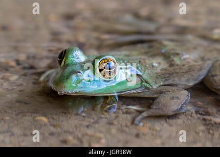 (Lithobates catesbeianus grenouille taureau américain ou Rana catesbeiana) dans l'eau, Point Ledges State Park, Iowa, États-Unis.