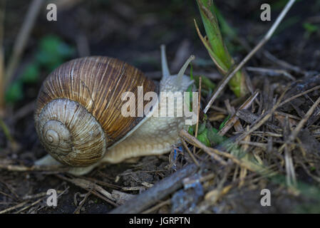 Escargot raisin close-up Helix pomatia dans l'herbe verte. Banque D'Images