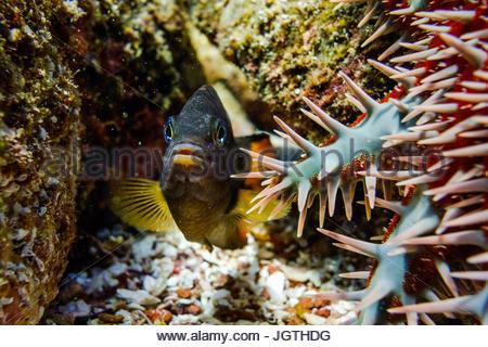 Un poisson nage près d'une couronne d'épines, Acanthaster ellisii. Banque D'Images