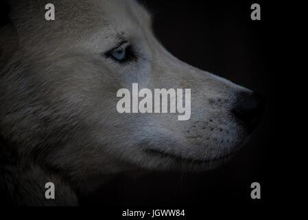 Husky de Sibérie yeux bleus portrait Banque D'Images
