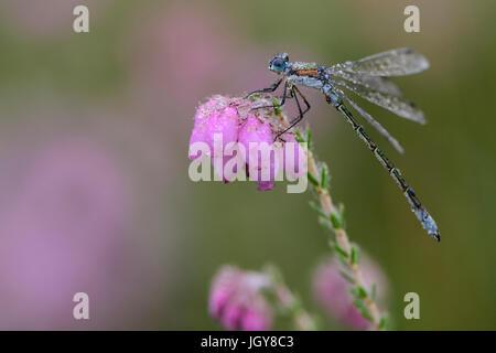 Demoiselle d'émeraude commun Spreadwing ou sur fleur de contre-leaved Heath couvert de rosée du matin,