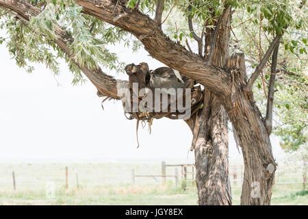 Vieille selle dans un arbre sur un ranch historique en milieu rural au Colorado Banque D'Images