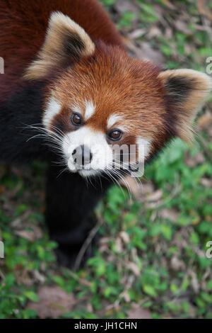 Le petit panda Ailurus fulgens, également connu sous le nom de Panda moindre et Cat-Bear rouge, est un petit mammifère Banque D'Images