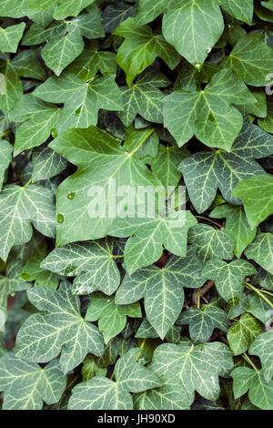 Gouttes de pluie sur les feuilles de lierre vert dans la forêt. Banque D'Images