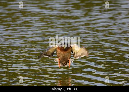 Canard colvert femelle avec ailes étirés entrée en terre sur un lac Banque D'Images
