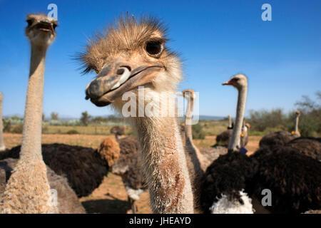 Safari ostrich show farm Oudtshoorn, Petit Karoo, Afrique du Sud, l'Afrique