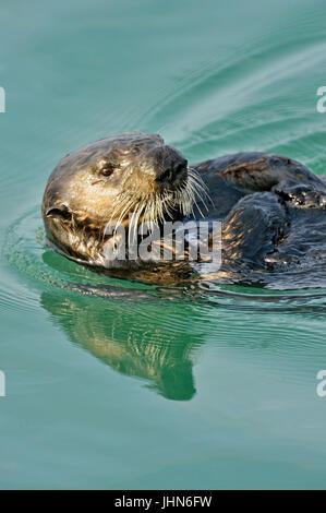 Loutre de mer (Enhydra lutris) le repos et de lissage après l'alimentation, Morro Bay, Californie, USA Banque D'Images