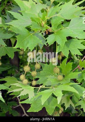 Londres - platane (Platanus acerifolia Platanus × × hispanica) fruits & Feuilles Banque D'Images