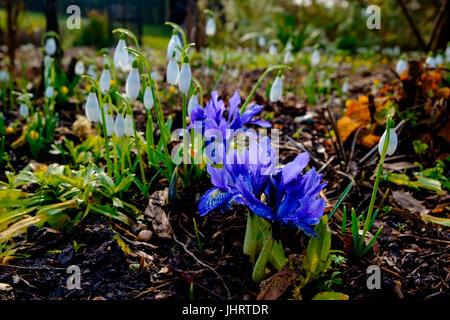 Perce-neige et de l'iris dans un jardin d'hiver Banque D'Images