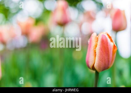 Une belle couleur pêche pastel à rayures jaune et gros plan macro tulipes avec bokeh et gouttes de pluie Banque D'Images