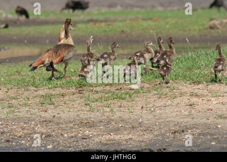 Egyptian goose (Alopochen aegyptiaca) Banque D'Images