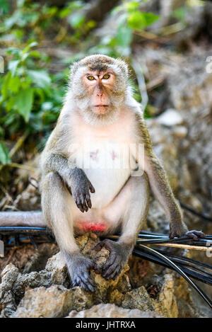 Portrait de singe assis en Thaïlande, Krabi.