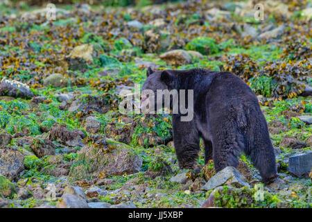 L'alimentation de l'ours noir sur la plage à marée basse, les rochers roulant dans la recherche des crabes et des moules, en Colombie-Britannique, Canada.