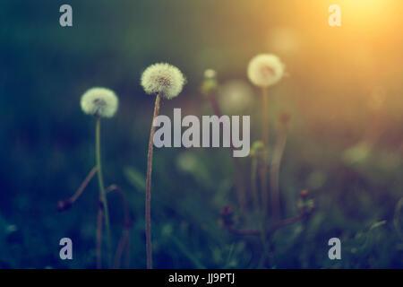 Pissenlit fleur dans le coucher du soleil. Cette image est exclusive pour Alamy seulement Banque D'Images