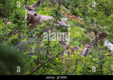 Une mule deer doe veillant sur ses deux faons, le long de la chaîne en boucle au lac. Parc National de Grand Teton, Wyoming