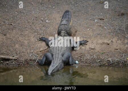 Alligator sauvage à la rookerie à Smith Oaks sur l'île sanctuaire élevé au Texas Banque D'Images