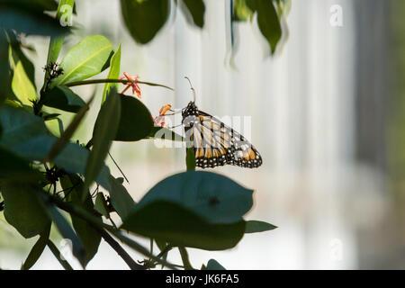 Un monarque (Danaus erippus sud) butterfly bénéficie de l'ensoleillement tout en prend un repos sur une plante lors Banque D'Images