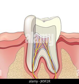 La structure de la dent. Anatomie de dents. illustration médicale dentaire. Banque D'Images