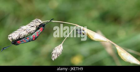 La journée-battant Six-spot burnet moth (Zygaena filipendulae) l'accouplement sur une herbe capitule près de cocons d'où ils ont probablement tout juste de sortir.