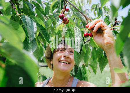 Happy senior Woman picking cherries Banque D'Images
