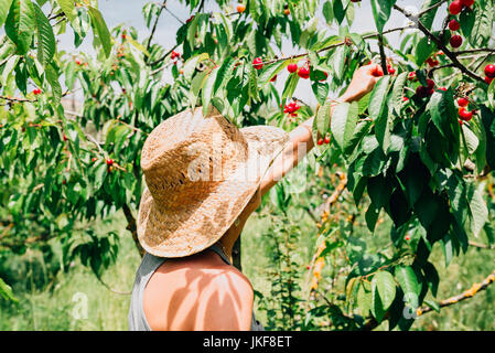 Woman with straw hat picking cherries Banque D'Images