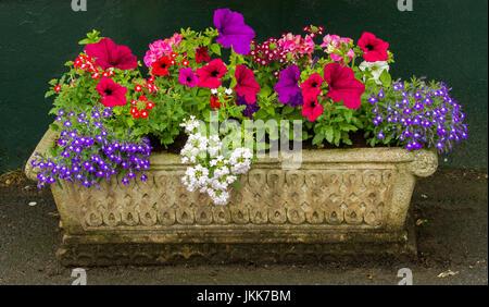 La floraison des annuelles, y compris violet,lobelia pétunias, rouge vif et blanc de la verveine, de plus en plus Banque D'Images