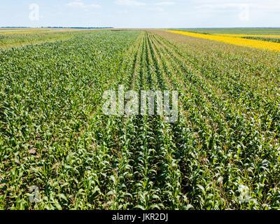 Drone aérien Vue de champ de maïs prêt à être moissonné Banque D'Images