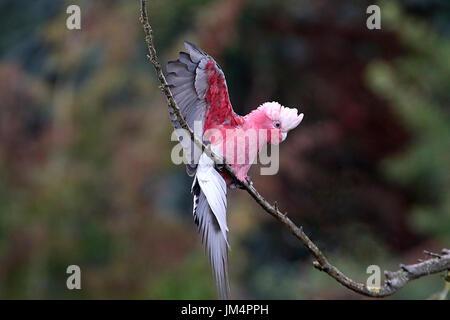 Cacatoès à poitrine rose australienne ou cacatoès cacatoès Rosalbin (Eolophus roseicapilla) débarquement en arbre.