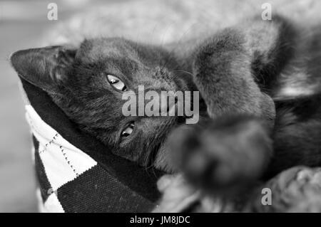 Portrait de chat Chartreux à à lens Banque D'Images