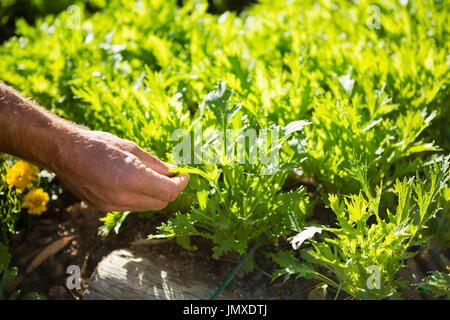 L'homme examinant les gaulis dans jardin sur une journée ensoleillée Banque D'Images