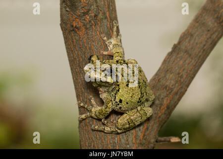 Le nord de rainette accrochée au flanc d'une branche d'arbre - Hyla versicolor Banque D'Images