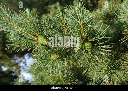 Cônes de pin vert jeunes sur une branche en journée ensoleillée.