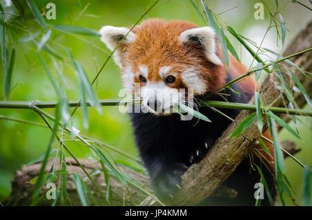 Le panda rouge on Tree Banque D'Images