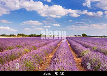 Les champs de lavande en fleurs sur le plateau de Valensole en Provence dans le sud de la France.