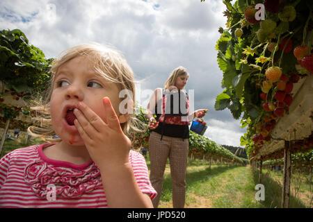 Un bébé fille de 18 mois mange les fraises à un l'autocueillette de la ferme en Angleterre. Sa mère et soeur de Banque D'Images