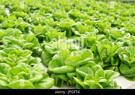 Dans la serre commerciale la culture de légumes hors-sol