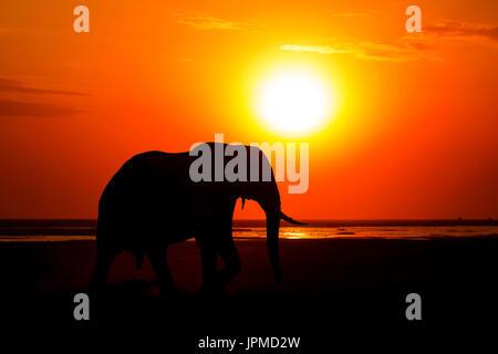 Comme le soleil feux sur les vastes plaines du parc national Amboseli, un éléphant mâle traverser la route vers Banque D'Images