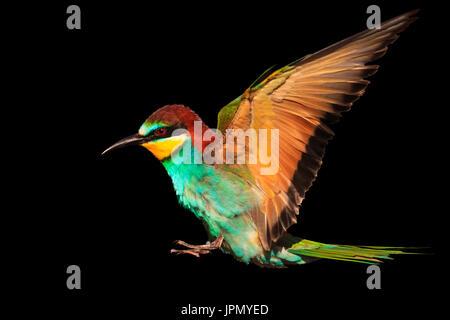 Oiseau de paradis en vol est isolé sur fond noir Banque D'Images