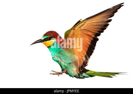 Oiseau de paradis en vol est isolé sur fond blanc Banque D'Images