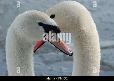 Close-up d'un couple de cygnes tuberculés (Cygnus olor) sur l'étang de la flotte, Hampshire, Royaume-Uni Banque D'Images