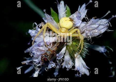 Araignée crabe ont soutiré la France - Syrphe Banque D'Images