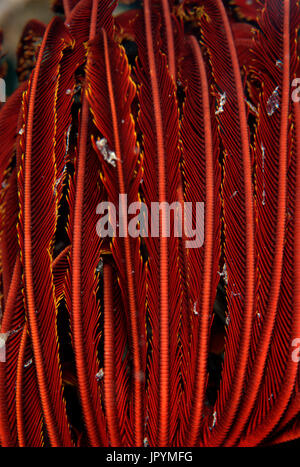 Touffue Variable Feather Star - Philippines Cabilao Banque D'Images